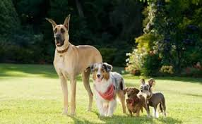 australian shepherd qld marmaduke the review and a teeny psa u2013 pawcurious with
