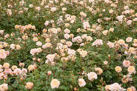 drift roses apricot drift plants