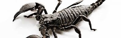 scorpion facts scorpion facts and information