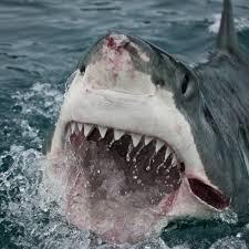 great white shark attacks cape cod kayakers shark attacks shark