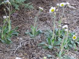 plants native to tennessee garden of aaron good native groundcovers robin u0027s plantain and