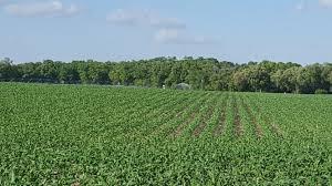 irrigated corn corn florida crops