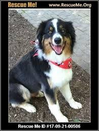 south texas australian shepherd rescue virginia australian shepherd rescue u2015 adoptions u2015 rescueme org