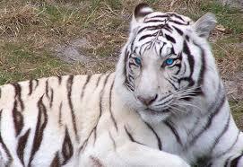 white tiger blue by rzabel1 viewbug com