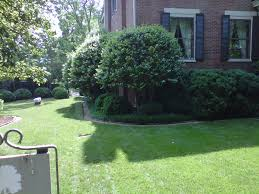 limb up evergreen shrubs for small trees landscape ideas