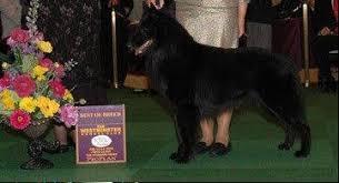 belgian sheepdog merchandise suburban sheepdog wins best in breed at westminster