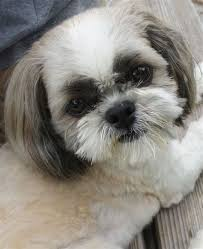 list of shih haircut list of shih haircut shih tzu haircut styles hairs picture