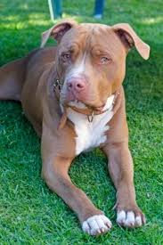 2 types of boxer dogs types of pitbulls do you know the difference