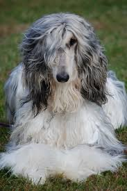 afghan hound when i was much younger i wanted an afghan hound dogs and cats