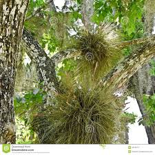 fl native plants florida air plants spanish moss stock photo image 40125717