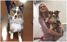 life with australian shepherd are australian shepherds good apartment dogs see what real