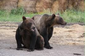 Bears Montana Hunting And Fishing - montana hutterite colony facing jail time for poaching grizzly bears