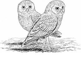 desert owl coloring page burrowing owl clipart pinart find this pin and more move the