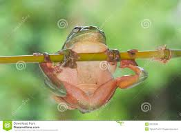 green tree frog hanging from branch royalty free stock photos