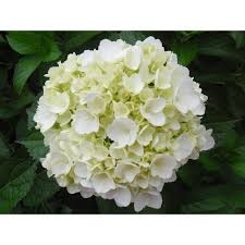hydrangea white white hydrangeas in bulk