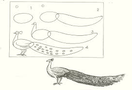 studentsdrawing animal step by step easy outline drawing bird pecock