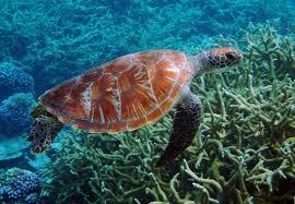 imagenes tortugas verdes un estudio revela que tortugas verdes en australia han dejado de