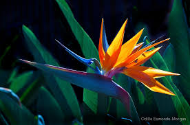 bird of paradise flower bird of paradise flower strelitzia nicolai by odille esmonde