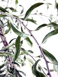 weeping silver pear trees for sale at trees direct