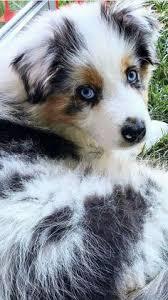 australian shepherd odor australian shepherd meet red tri 1 blue eye a cute australian