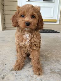best 25 cockapoo ideas on small dogs cavoodle