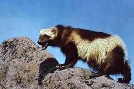 Nevada wildlife images Wolverine main page jpg