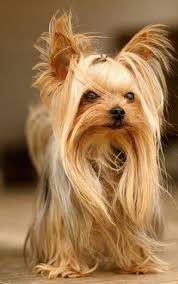 pictures of shorkie dogs with long hair long haired yorkies google search yorkie hair style
