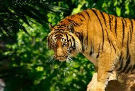 tiger in jungle stock photo colourbox