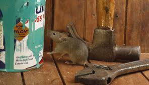rats or mice in attic gopher and termite control pest control