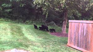 virginia shenandoah black mama bear and three cubs in my forest