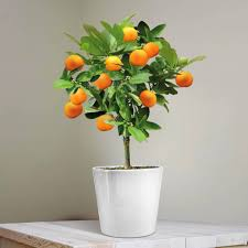 mini orange tree 25cm 1 tree co uk garden outdoors