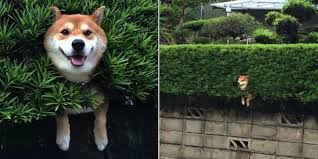 Meme Shiba Inu - this totally chill dog couldn t care less about getting stuck in a bush