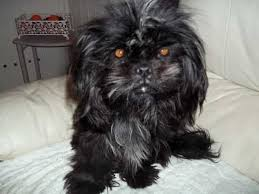 afghan hound de 1 mes shih tzu dog breed information buying advice photos and facts