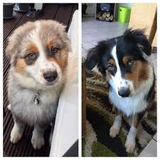 australian shepherd colors color change with age aww