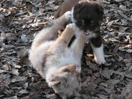 australian shepherd vs husky honey hill aussies male vs female puppy which is best for your