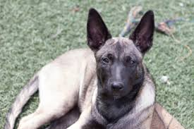belgian malinois for sale view ad belgian malinois puppy for sale california imperial