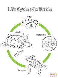 life cycle of a turtle coloring page free printable coloring pages