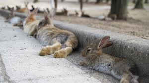 rabbit bunny thousands of bunnies chillin on japan s rabbit island