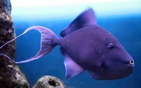 wallpaper grey triggerfish atlantic nova scotia argentina