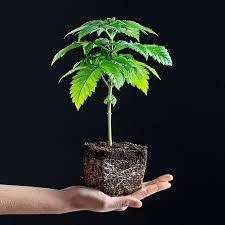 growing cannabis plants seeds versus clones rqs blog
