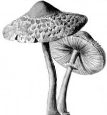 how to draw realistic mushrooms step by step realistic drawing