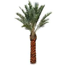 palm trees manufacturers suppliers of washingtonia