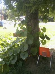 growing vine fruit on other fruit trees forest garden forum at