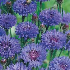 cornflower blue cornflower blue flower seeds d t brown flower seeds