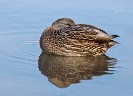 file female mallard duck rest 3 jpg wikimedia commons