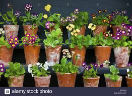rows of primula auricula primulaceae plants in a terracotta pots