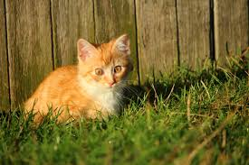 free picture cat cute animal grass kitten young feline