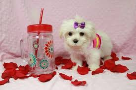 Seeking Teacup Maltese Teacup Maltese Puppies Seeking Urgent Homes Dogs Buy Or