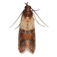 amazon com safer brand 05140 the pantry pest trap 2 moth traps