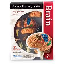 The Anatomy Of The Human Brain Learning Resources Brain Anatomy Model Walmart Com